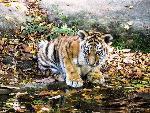 tiger-987678_640